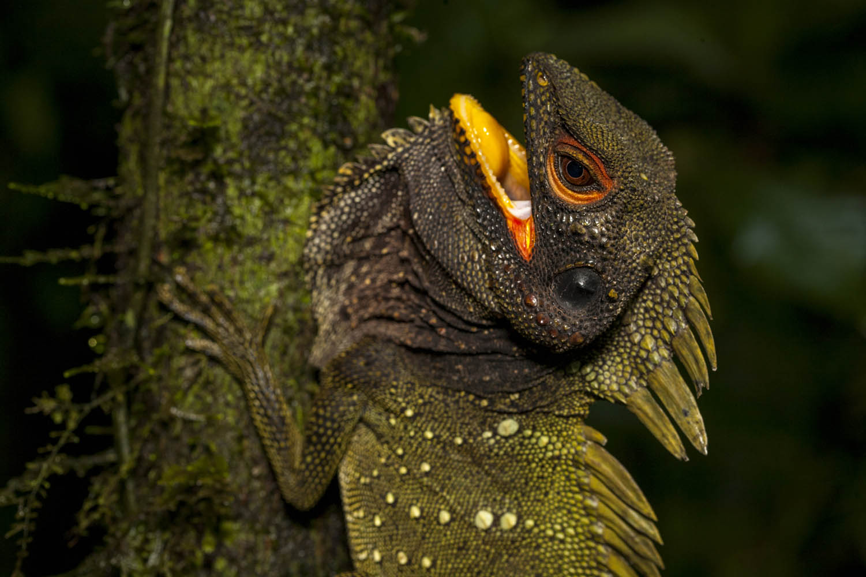 PNGBBC09_0201_2486Winkelkopfagame (Hypsilurus, Lophosaurus), Papua- Neuguinea.Green Forest Dragon (Hypsilurus, Lophosaurus) , Papua New Guinea.