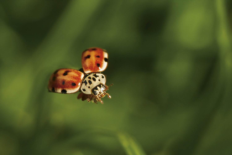130503_4150Marienkäfer (Coccinella septempunctata) beim Abflug im Val Sugana, Dolomiten, Italien.A Lady Bug (Coccinella septempunctata) takes off in Val Sugana, Dolomites, Italy.