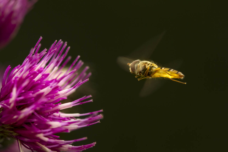 130825_B_2082Schwebfliege (Syrphidae) im Anflug auf Ringdistel (Carduus), Dolomiten, Italien.Hoverfly (Syrphidae) flies to a thistle (Carduus), Dolomites, Italy.